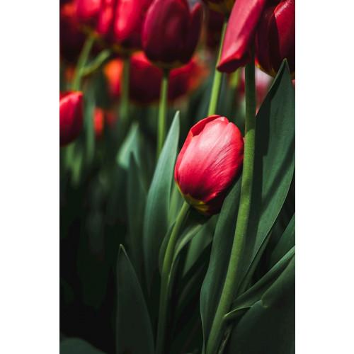 Poster Keukenhof Tulip